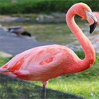 Tại sao chim hồng hạc đứng trên một chân?