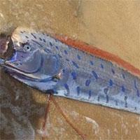 5 điều ít biết về cá mái chèo