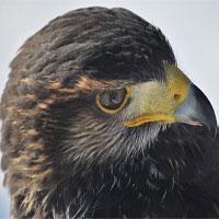 Kỳ lạ diều hâu lửa - Loài chim gây cháy rừng để kiếm mồi