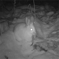 Trật tự tự nhiên sụp đổ? Camera hồng ngoại đã bí mật phát hiện ra rằng thỏ rừng đang ăn thịt