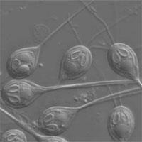 Tìm thấy sinh vật đầu tiên không cần oxy để sống sót