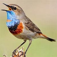 Ý nghĩa bất ngờ đằng sau tiếng hót của loài chim