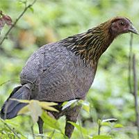Gà nuôi ngày nay được thuần hóa từ gà lôi đỏ ở Đông Nam Á