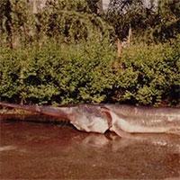 Đập Tam Hiệp đẩy loài cá khổng lồ này của Trung Quốc vào cảnh tuyệt chủng hoàn toàn