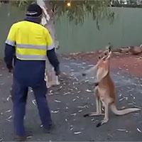 Kangaroo ngứa chân, gạ chú công nhân đánh nhau và cái kết bất ngờ