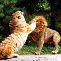 [Cuộc chiến bất hủ] Cọp với Sư tử. Loài nào mới là chúa sơn lâm?