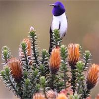 Phát hiện loài chim có tiếng hót cao nhất