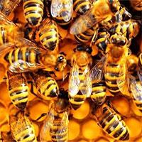 """Phát hiện """"thần dược"""" diệt ung thư trong 1 giờ từ… ong mật"""