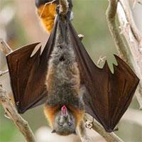 Loài dơi đã tiến hóa từ con vật gì? Tổ tiên của chúng có phải là loài chuột không?