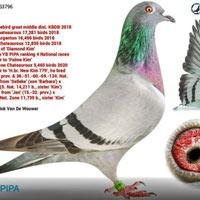 Cận cảnh chim bồ câu giá 34,7 tỷ đồng, được vệ sĩ canh chừng từng phút