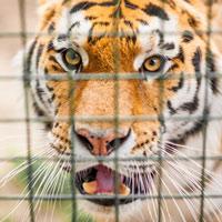 Làm thế nào để biến một cô gái xinh đẹp trở thành... một con hổ?