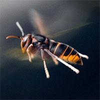 Lần đầu tiên trong lịch sử khoa học chứng kiến loài ong biết dùng công cụ
