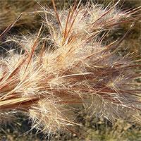Lần đầu tìm thấy các chất ức chế tế bào ung thư trong cỏ lau
