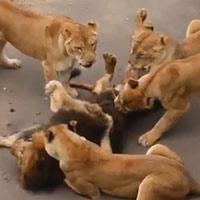 Bầy sư tử cái nổi giận, xúm vào nhổ lông sư tử đực
