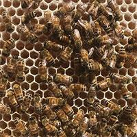 Mật ong được tạo ra như thế nào?