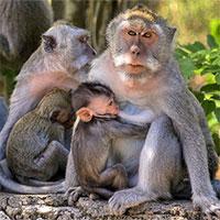 Khỉ ở Indonesia thích cướp đồ đắt tiền