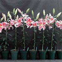 Cách trồng lại hoa ly sau Tết