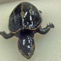 Phát hiện thần kỳ về chú rùa sống trong dạ dày cá vược miệng lớn