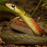 Loài rắn khiến nạn nhân bị chảy máu không ngừng đến chết