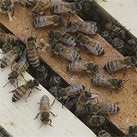 Mật ong Mỹ vẫn chứa bụi phóng xạ từ các vụ thử vũ khí hạt nhân năm 50