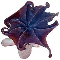 Phát hiện loài bạch tuộc mới ở tận độ sâu 7.000m