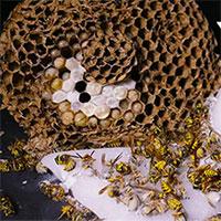 Lấy đá khô lấp miệng tổ ong bắp cày hung dữ: Kết quả ngoài mong đợi!