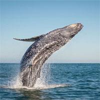 Tại sao cá voi lưng gù không thể nuốt chửng con người?