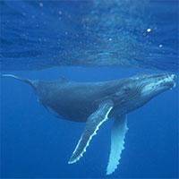 Chúng ta đã hiểu được ngôn ngữ của cá voi hay chưa?