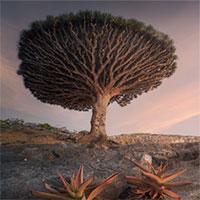 Cây máu rồng - loài cây kỳ bí nhất hành tinh