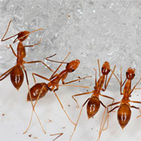 Xóa sổ kiến vàng điên xâm chiếm hòn đảo Mỹ