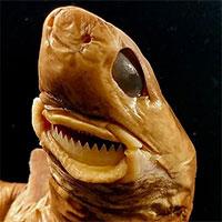 """Dựng tóc gáy với hàm răng kinh dị """"làm thịt"""" cả tàu ngầm của cá mập cắt bánh quy"""