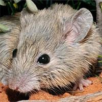 Phát hiện loài chuột tưởng đã tuyệt chủng một thế kỷ trước ở Australia