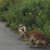 Loài lai lợn rừng nhiễm phóng xạ xâm chiếm Fukushima