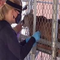 Sở thú Mỹ tiêm vaccine Covid-19 cho động vật