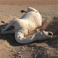 Vì sao không được phép chạm vào xác lạc đà chết trong sa mạc?