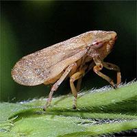 Loại côn trùng có thể hút chất lỏng từ khoảng cách 100m