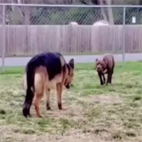 Video: Chó Becgie gây sự với Pitbull và cái kết