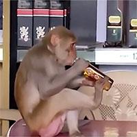 Video: Choáng váng với chú khỉ cầm chai rượu uống hết veo trong một nốt nhạc