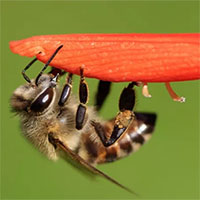 Con ong tạo ra đội quân bất tử với hàng triệu bản sao