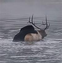 Video: Dìm chết nai sừng tấm, gấu xám vật vã kéo chiến lợi phẩm lên bờ