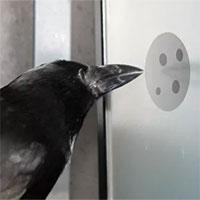"""Nghiên cứu mới cho thấy quạ cũng hiểu được khái niệm số """"0"""""""