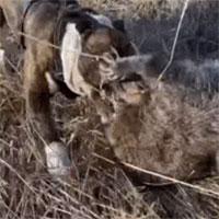 Video: Gấu mèo bị chó Bully tấn công dữ dội, cuộc vật lộn sinh tử sẽ có kết thúc ra sao?