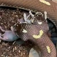 Video: Rắn hai đầu cùng lúc nuốt chửng hai con chuột