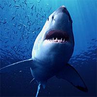 Cá mập có nguy cơ tuyệt chủng vì vaccine Covid-19?