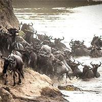 Video: Cá sấu tinh ranh, ra đòn chớp nhoáng hạ sát linh dương đầu bò