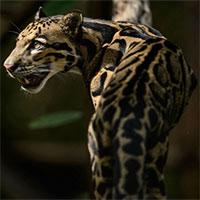 Top 9 loài mèo lớn nhất thế giới