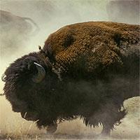 """Video: Cuộc chiến khốc liệt của những """"gã khổng lồ"""" ở Yellowstone"""