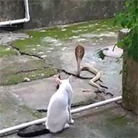 """Video: Dính """"chiêu độc"""" của mèo, rắn hổ mang bị tóm sau 1 giờ đối đầu"""