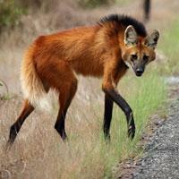 Chân dài 1 mét! Được gọi là sói thế nhưng lại thích ăn hoa quả