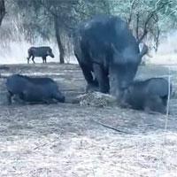 Liều lĩnh giành thức ăn, lợn rừng hứng trọn đòn trừng phạt của tê giác